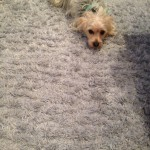 Pleasanton-Dog-carpet-clean