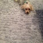 Pleasanton-Dog-carpet-clean